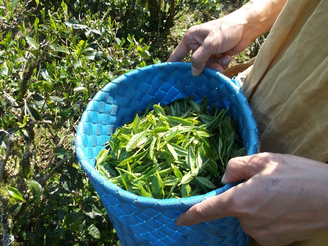 お茶の新芽(1針2葉)