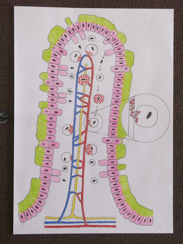 腸造血模式図
